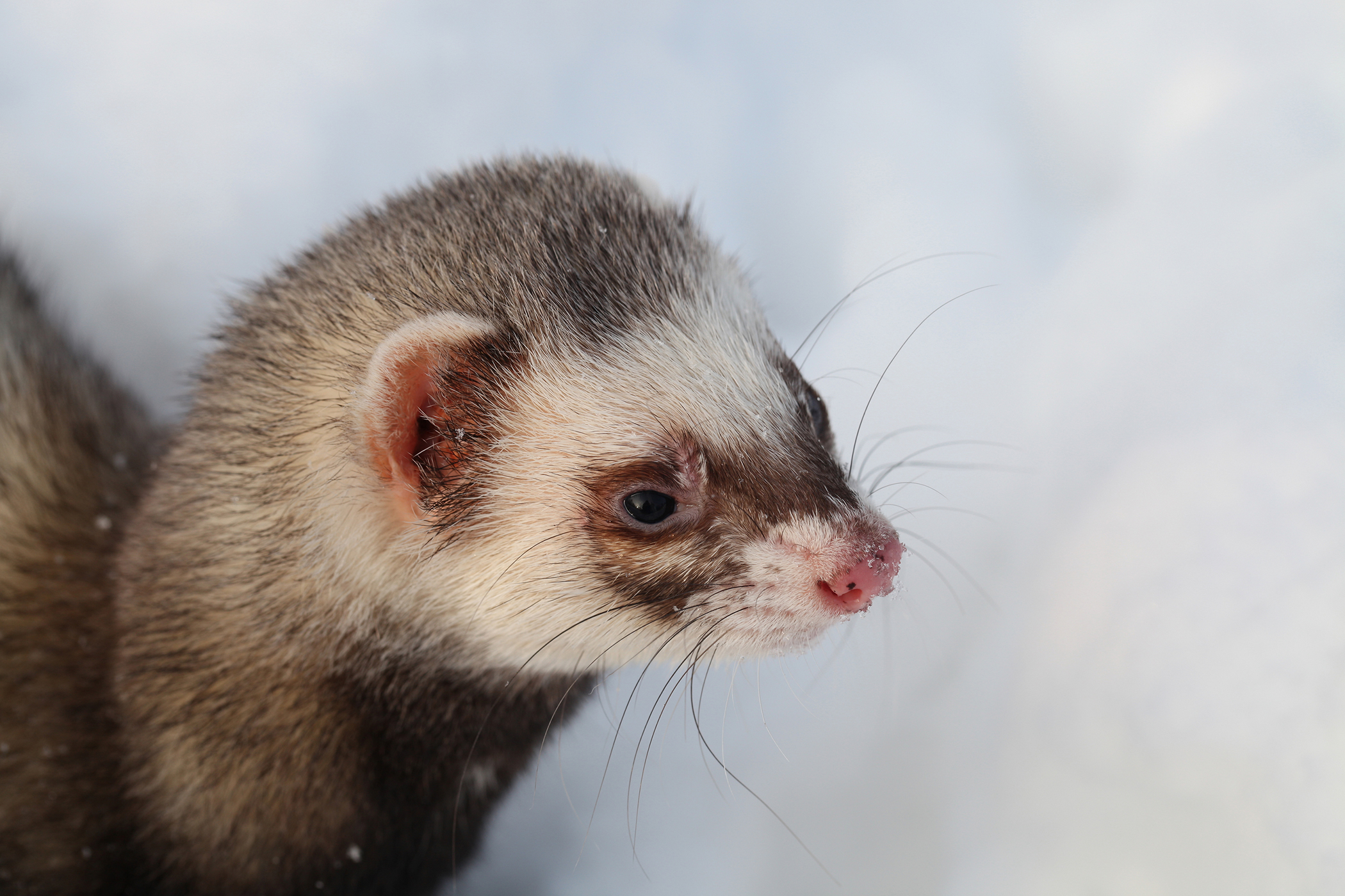 Enlarged Lymph Nodes in Ferrets - Symptoms, Causes, Diagnosis, Treatment, Recovery, Management, Cost