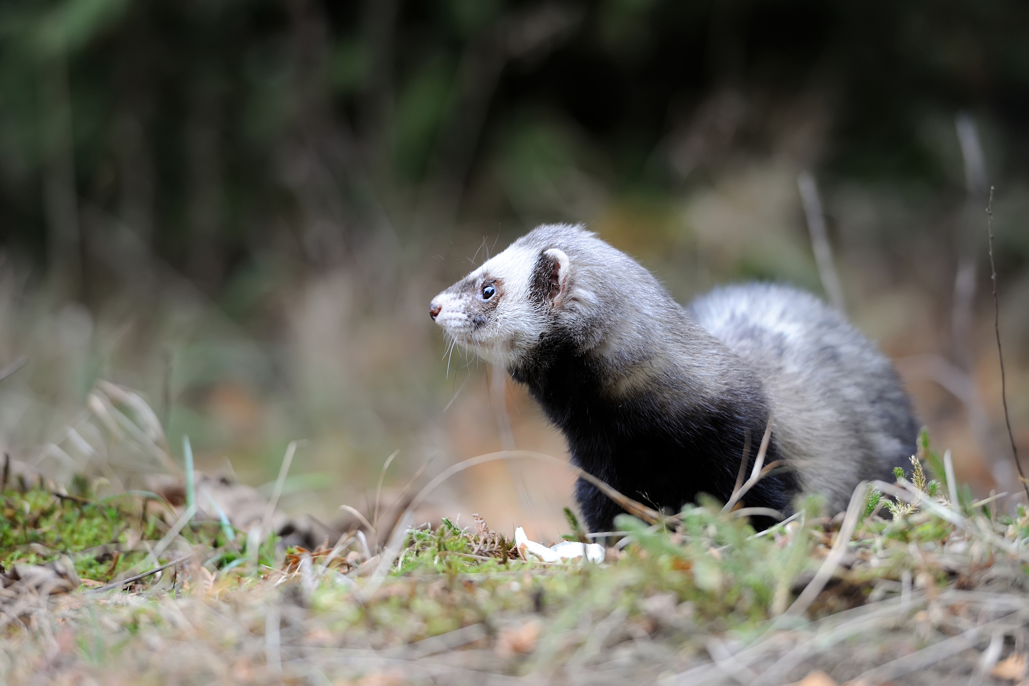 Excessive Production of Saliva in Ferrets