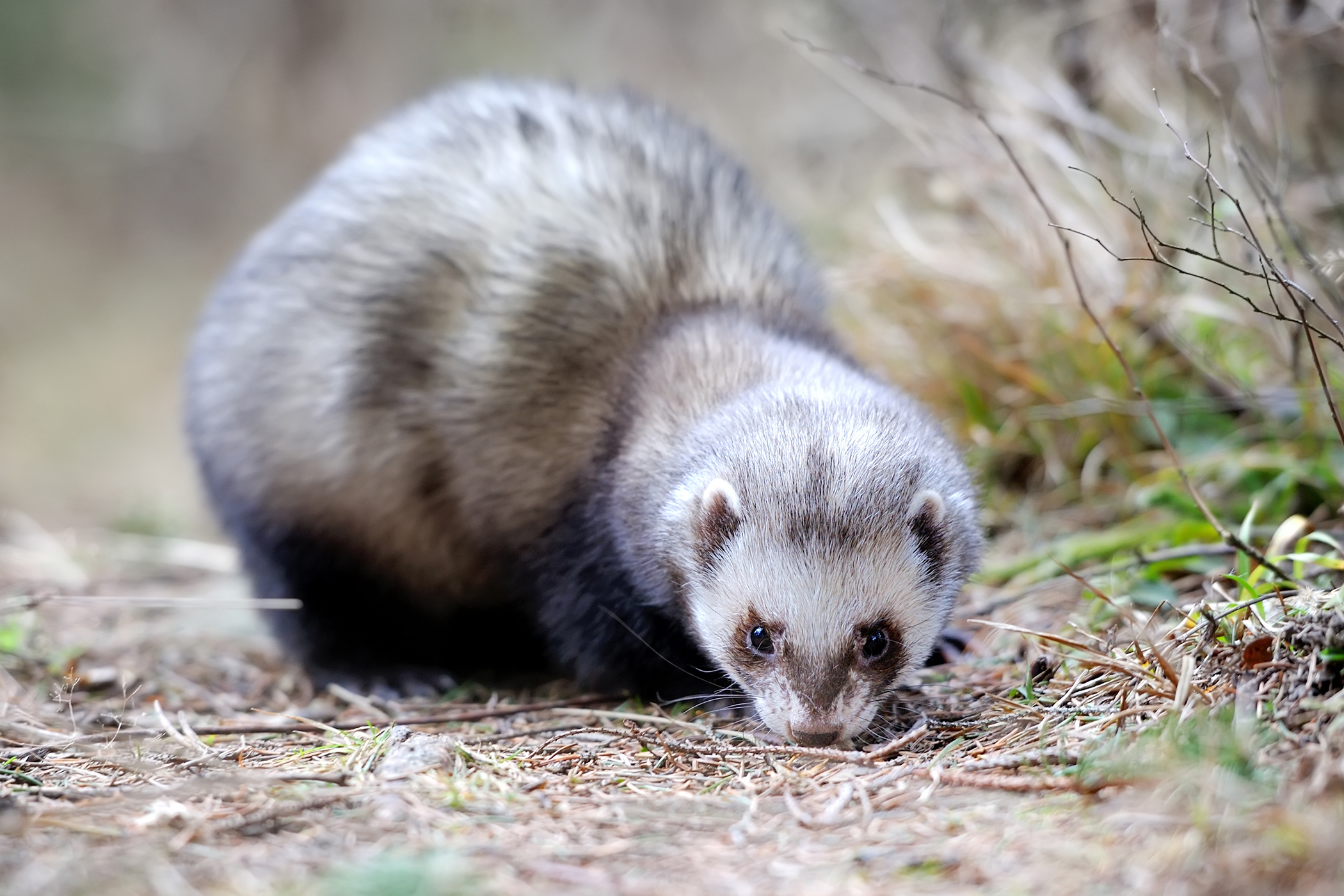Excessive Weight in Ferrets
