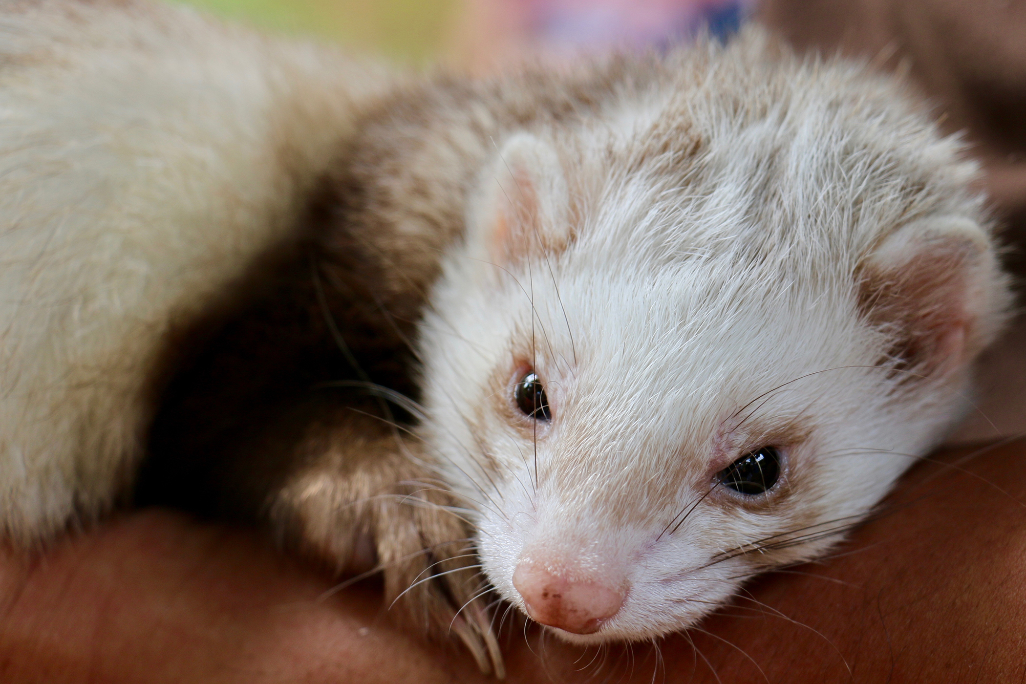 Gingivitis and Periodontal Disease in Ferrets