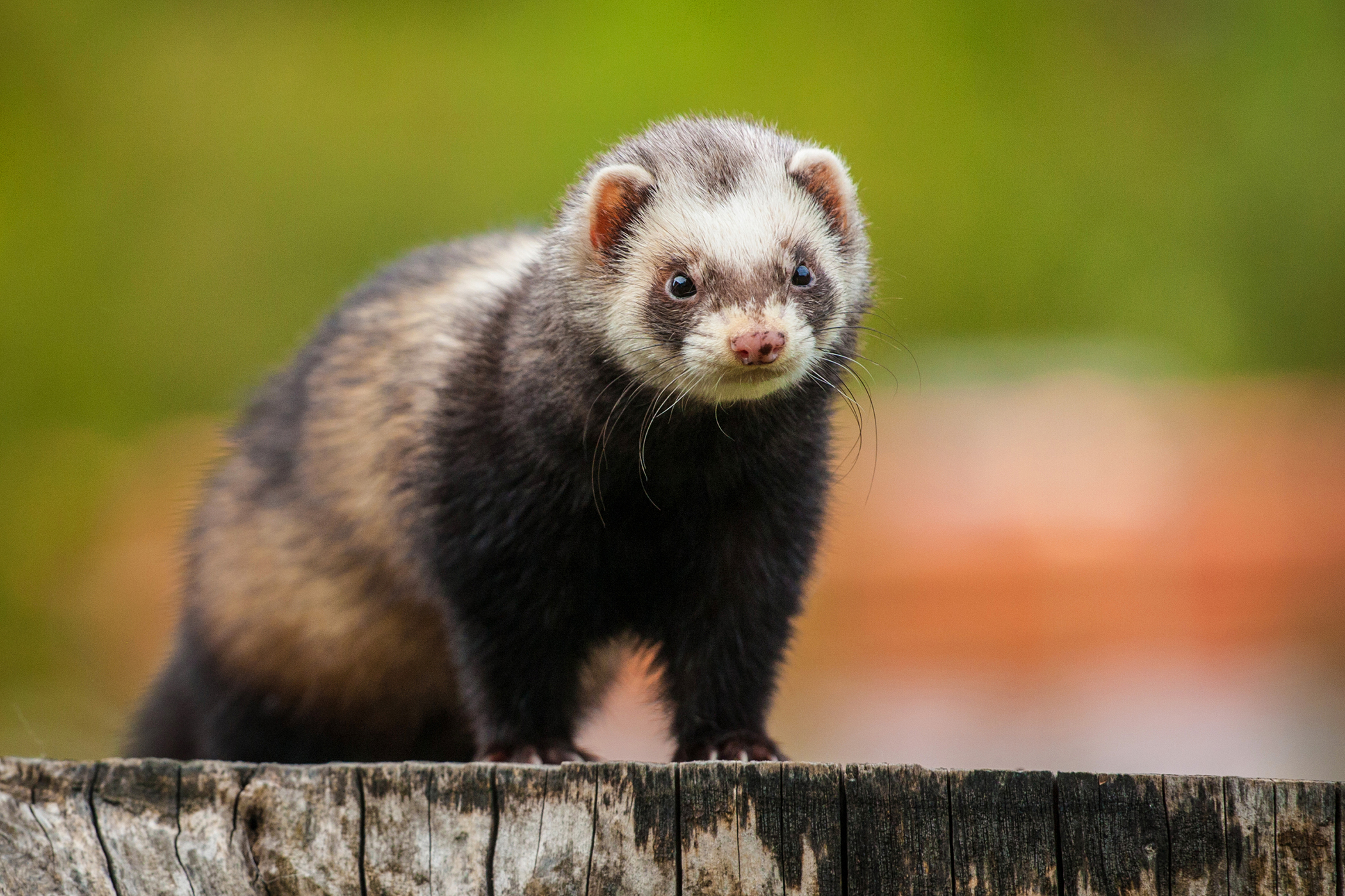 Hind Leg Weakness in Ferrets