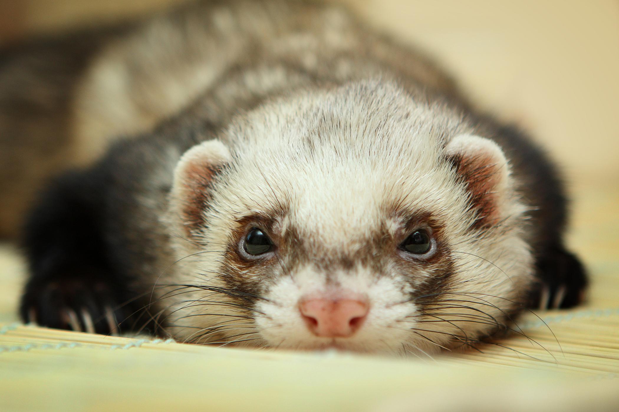 Hormone Overproduction in Ferrets