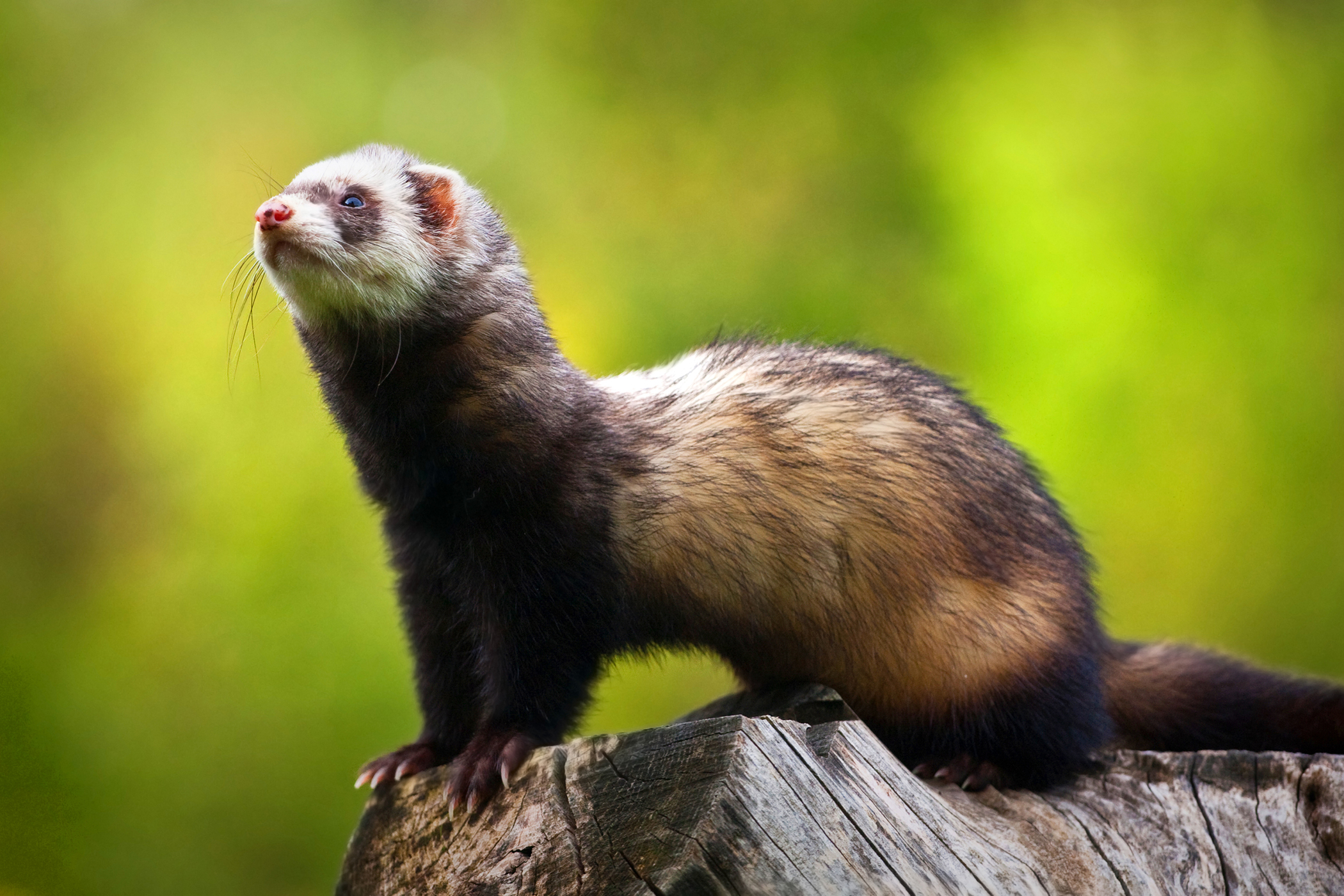 Increased Thirst And Urination in Ferrets