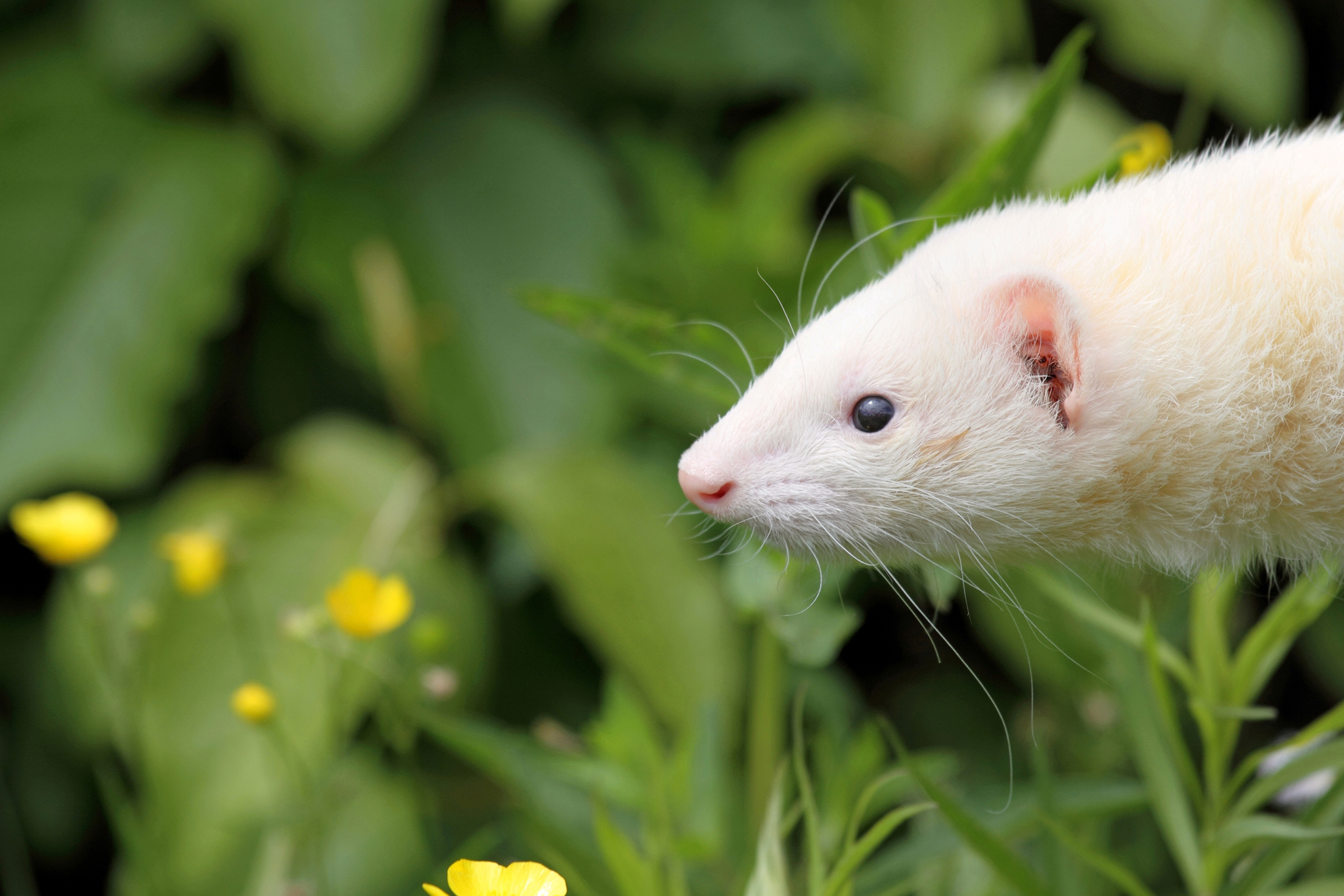 Inflammation of the Stomach and Intestine in Ferrets