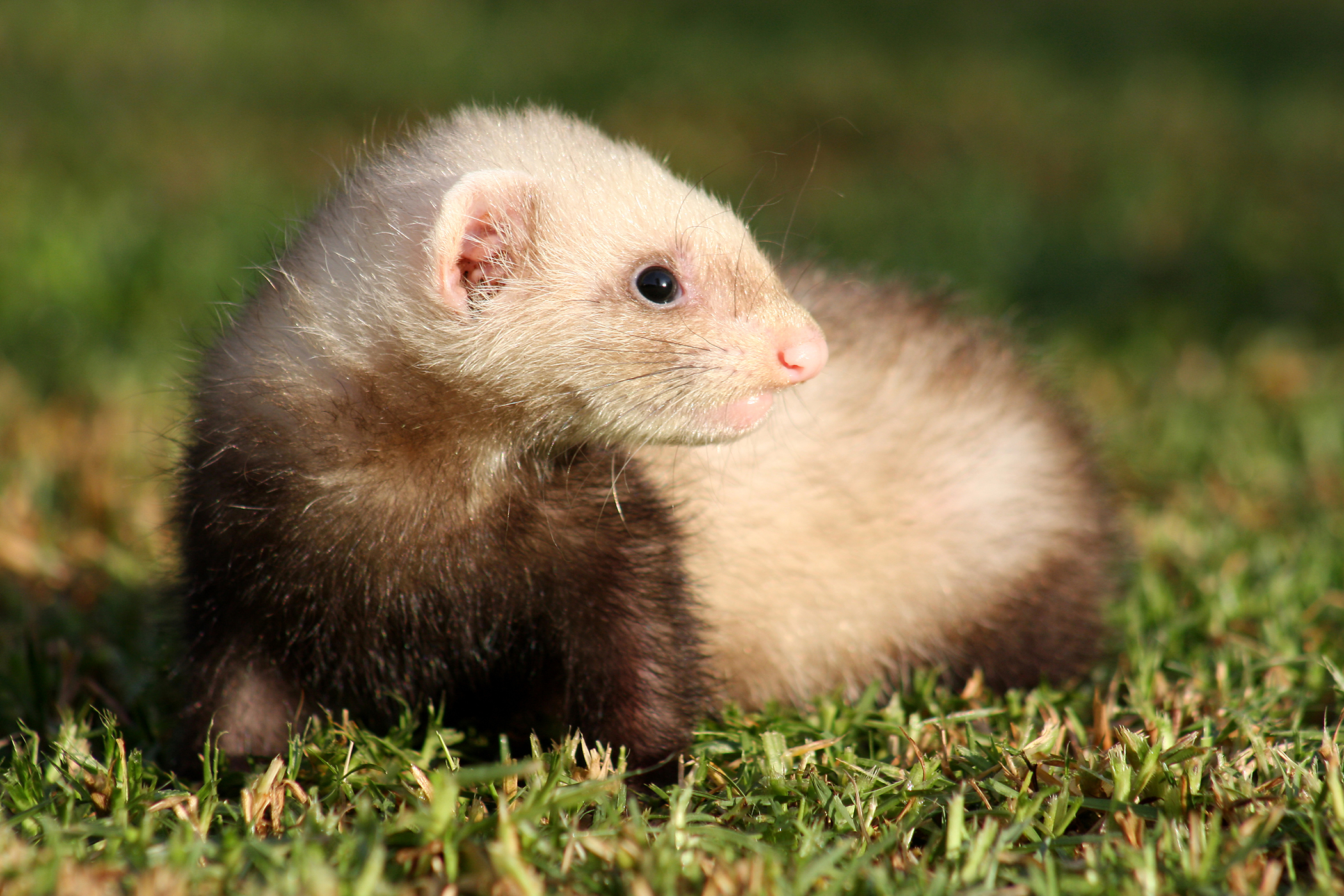 Intestinal Coccidia Parasites in Ferrets - Symptoms, Causes, Diagnosis, Treatment, Recovery, Management, Cost