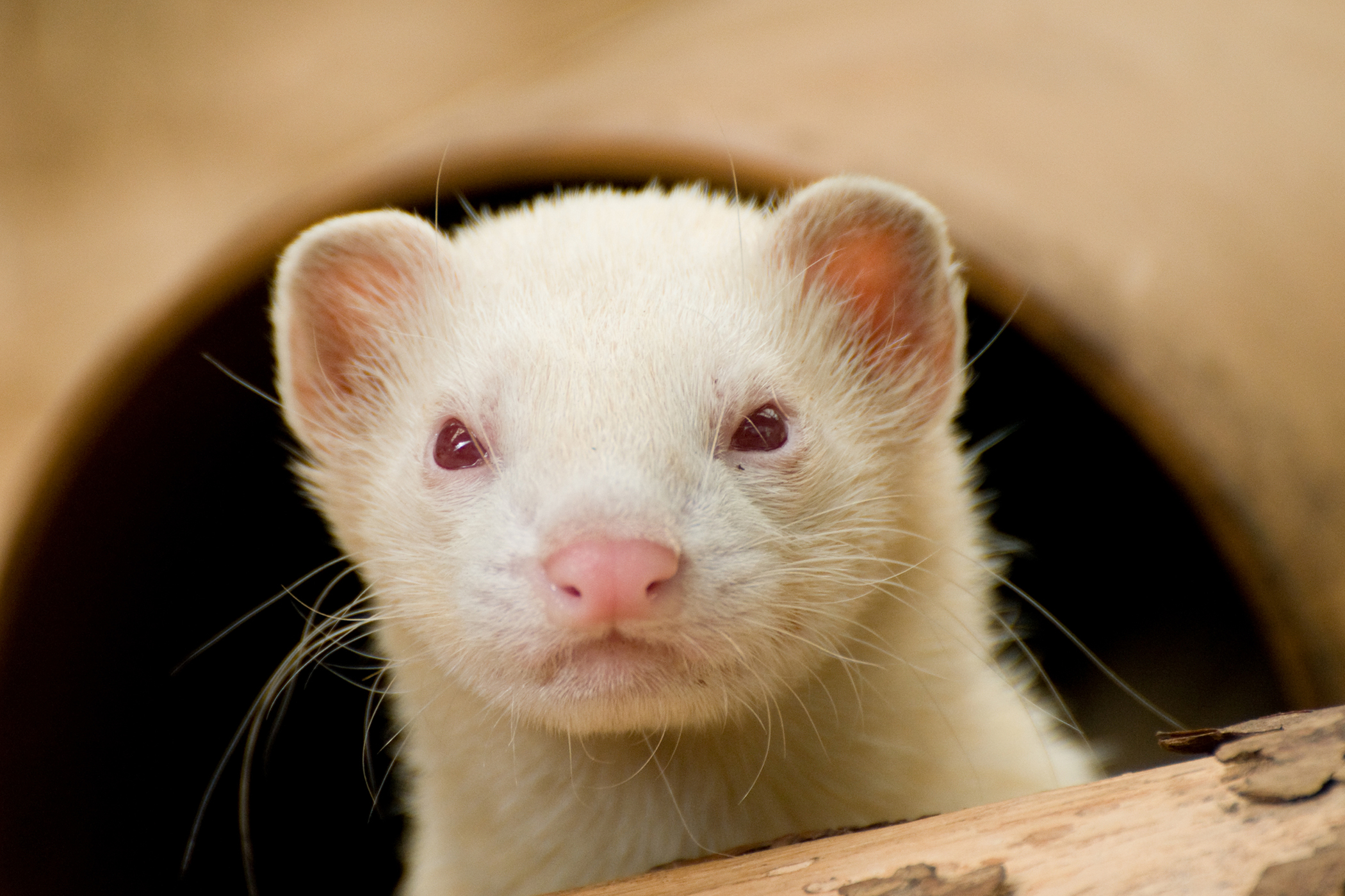Kidney Disease in Ferrets