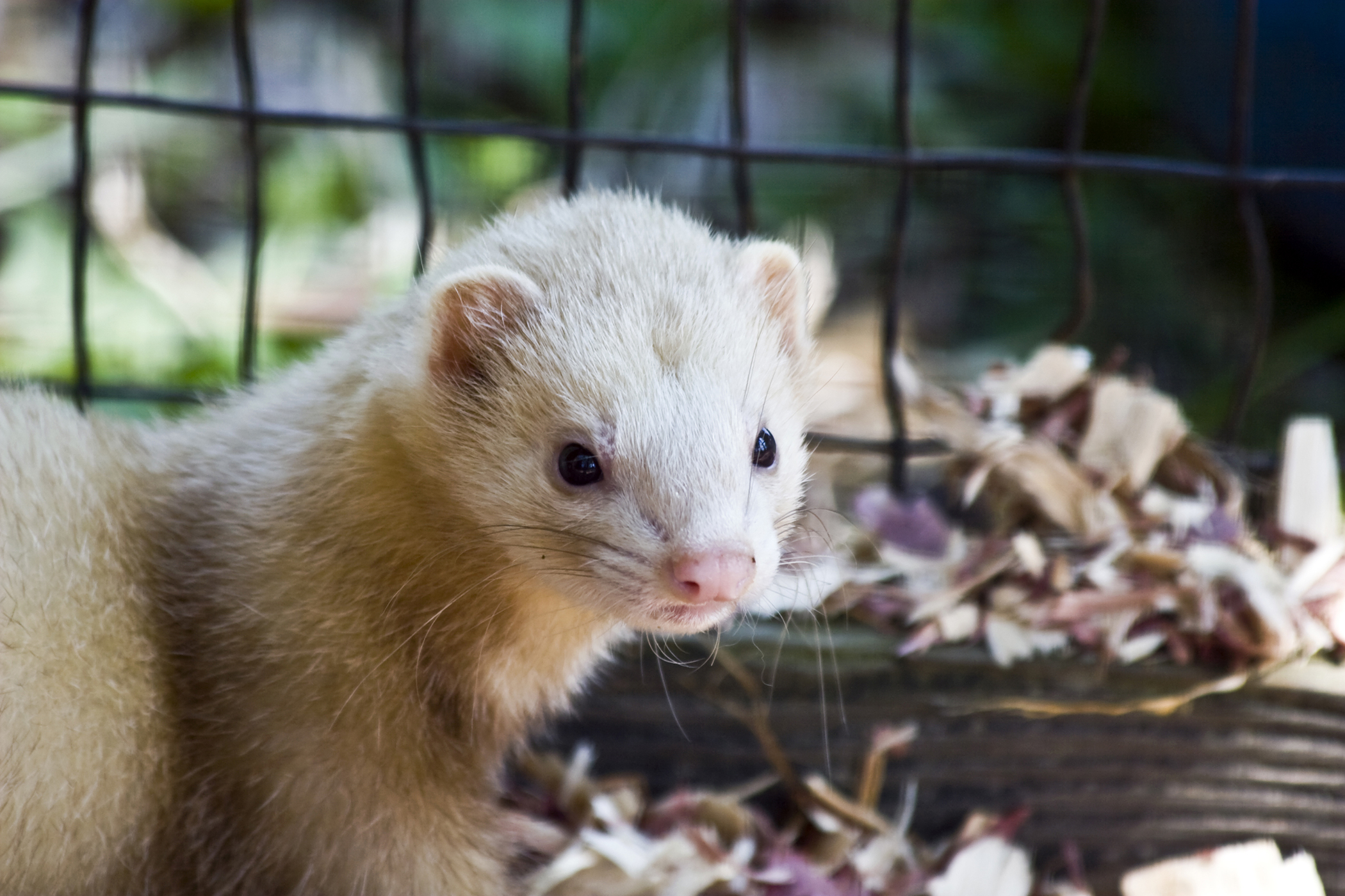 Lower Urinary Tract Infection in Ferrets
