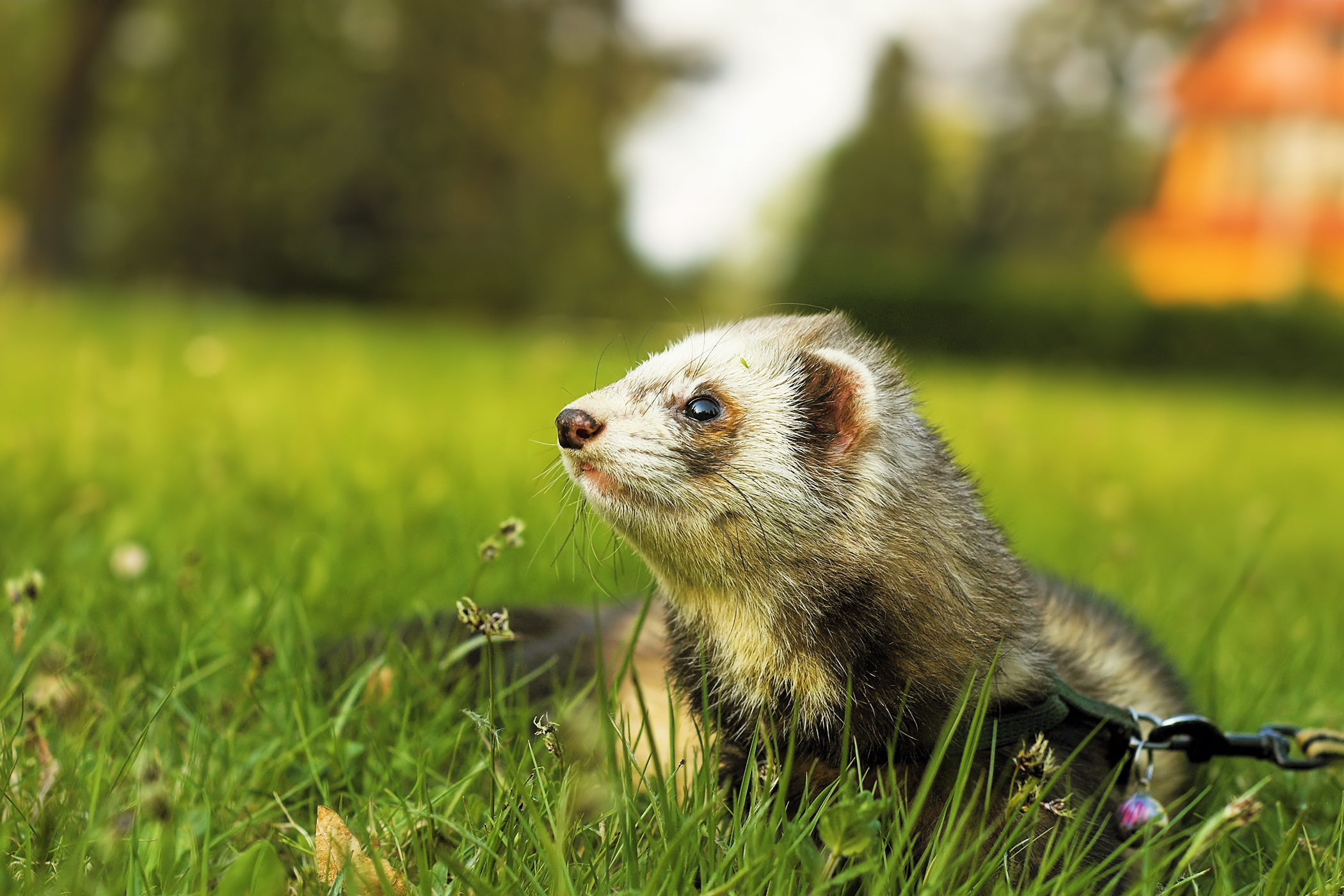 Pancreatic Tumor in Ferrets - Symptoms, Causes, Diagnosis, Treatment, Recovery, Management, Cost