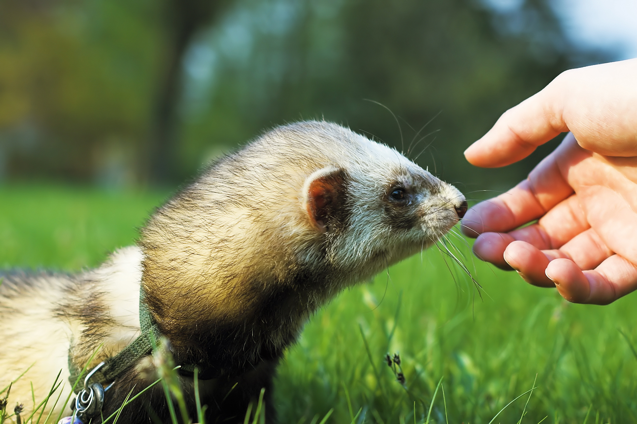 Paralysis and Paresis in Ferrets