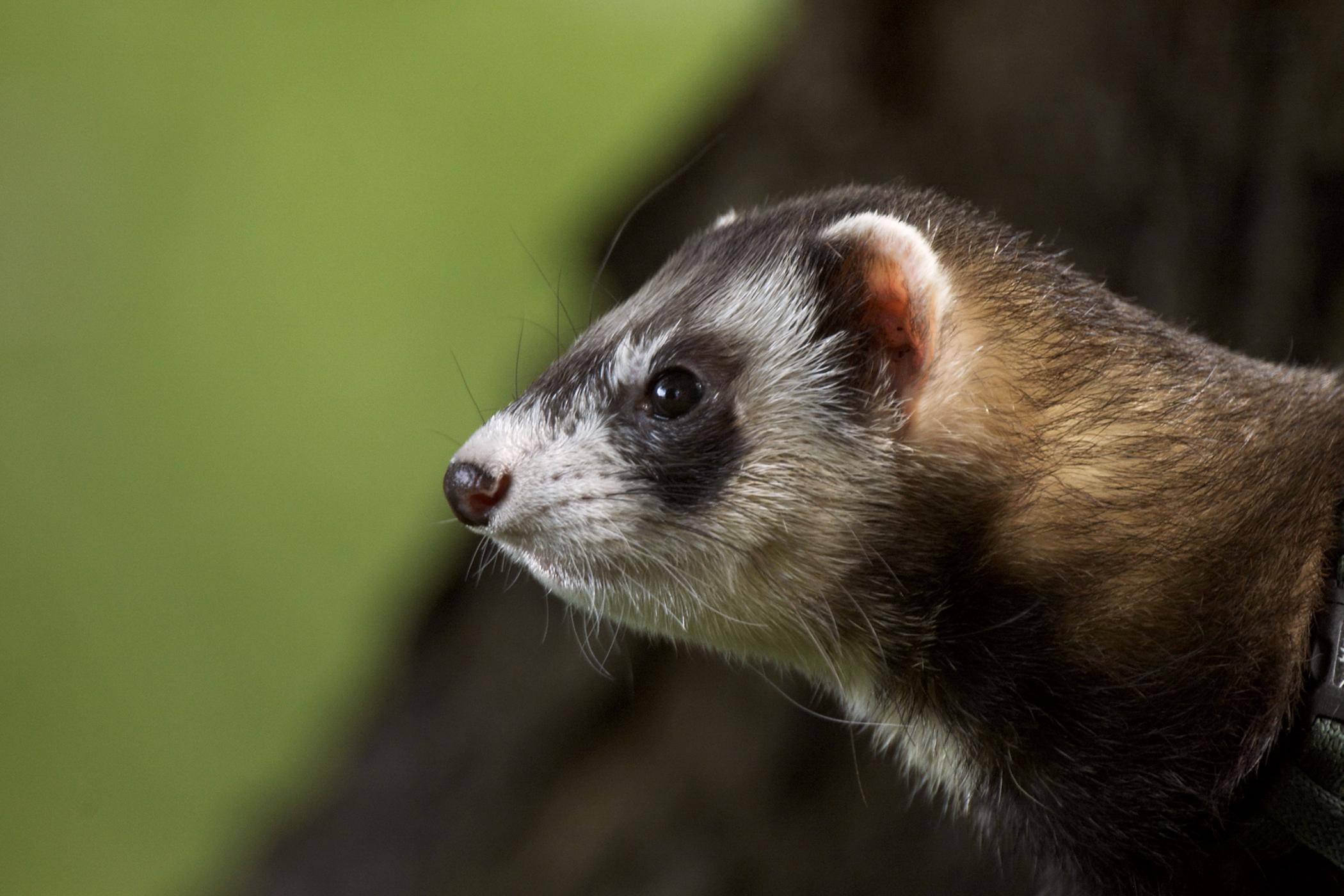 Proliferative Colitis in Ferrets