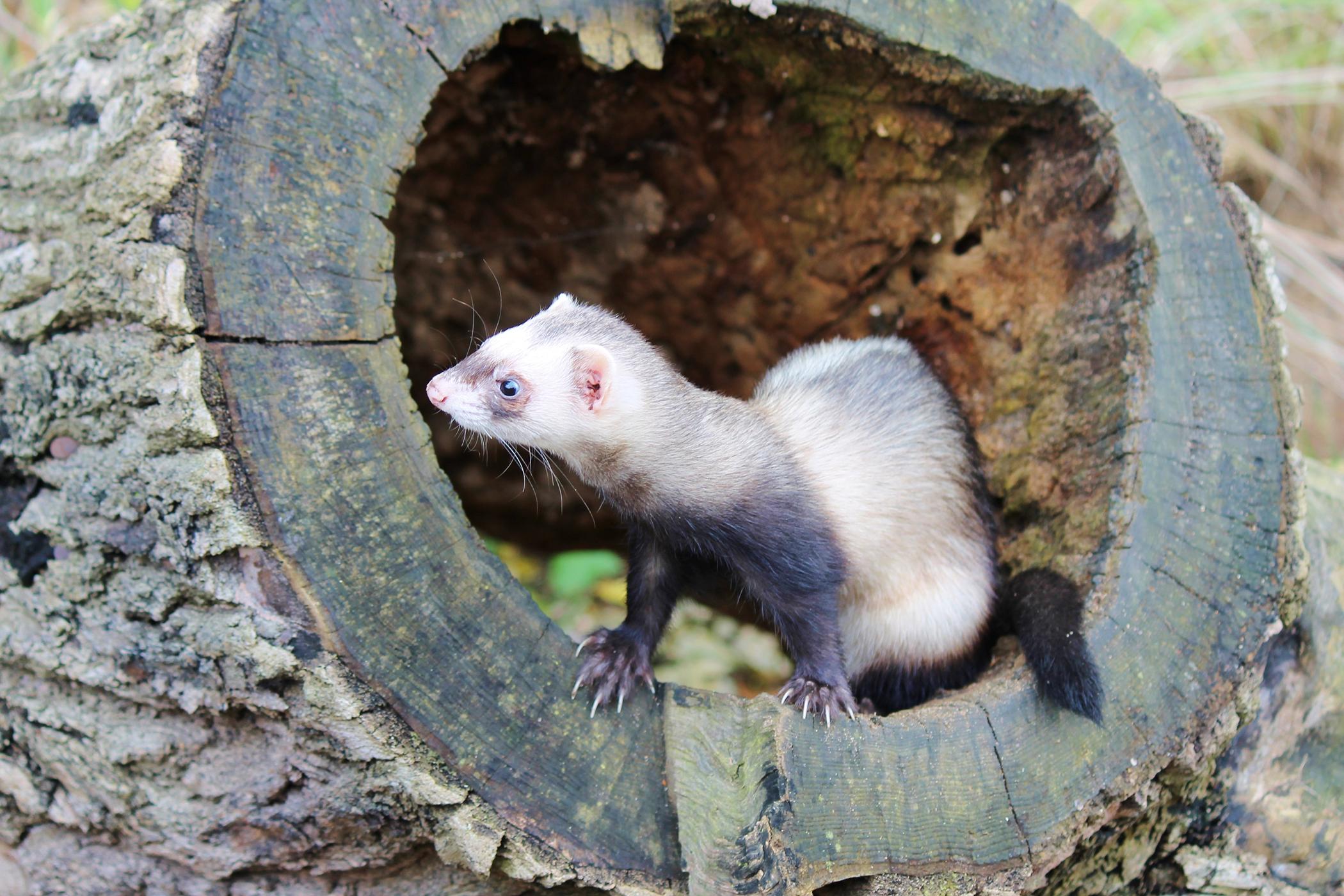 Renal Disease in Ferrets
