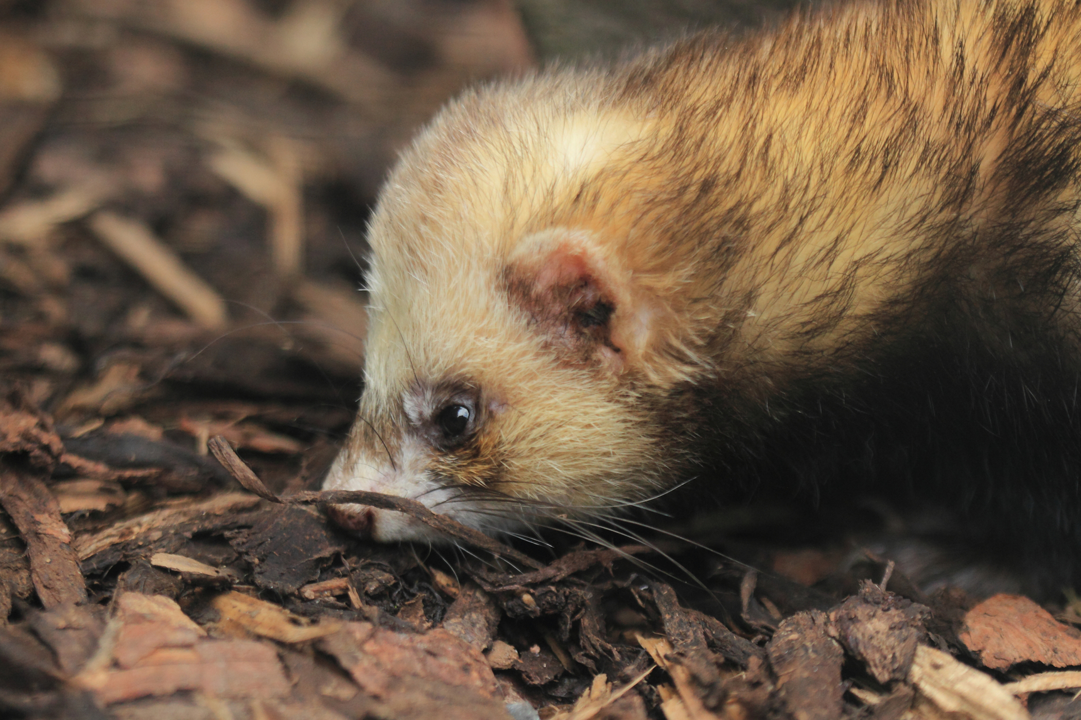 Respiratory Infections in Ferrets