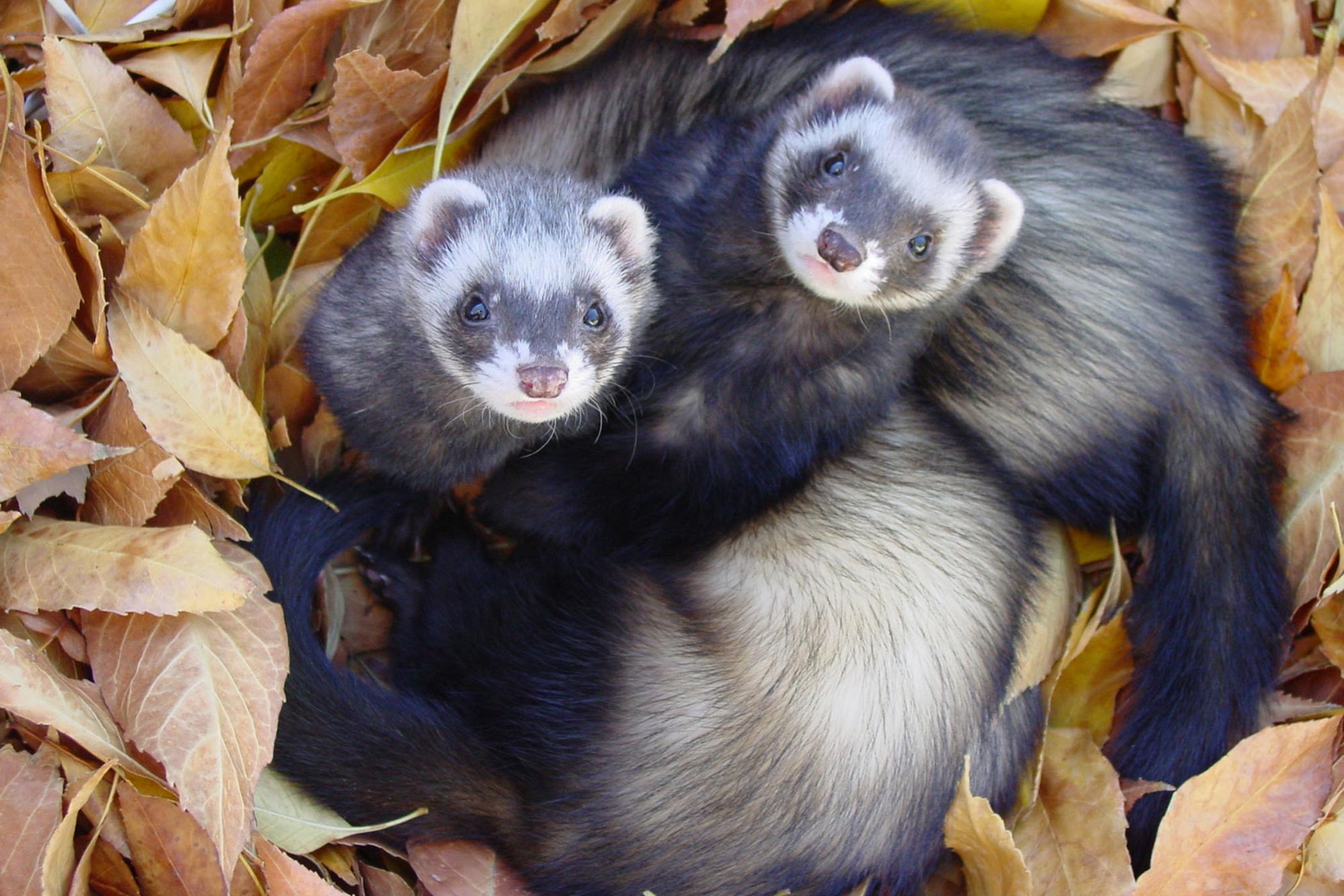 Salmonella Infection in Ferrets