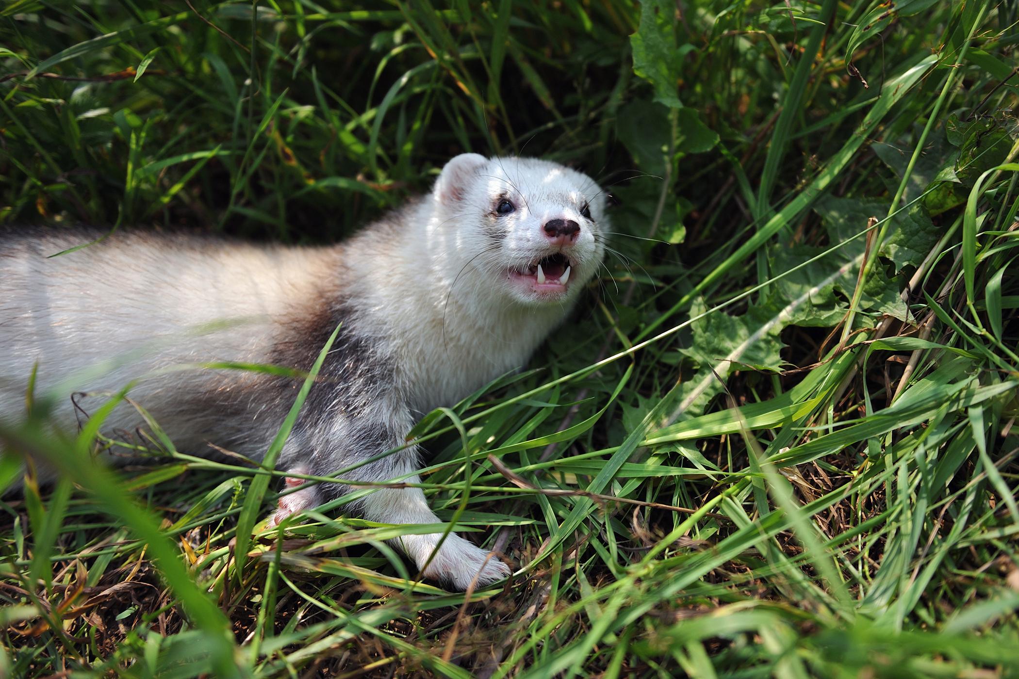 Skin Tumor in Ferrets