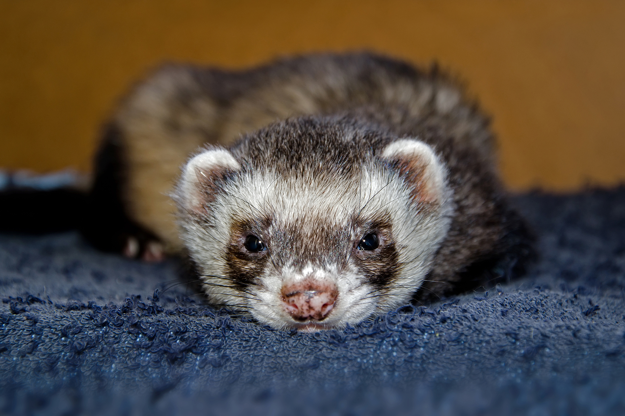 Stomach Inflammation in Ferrets
