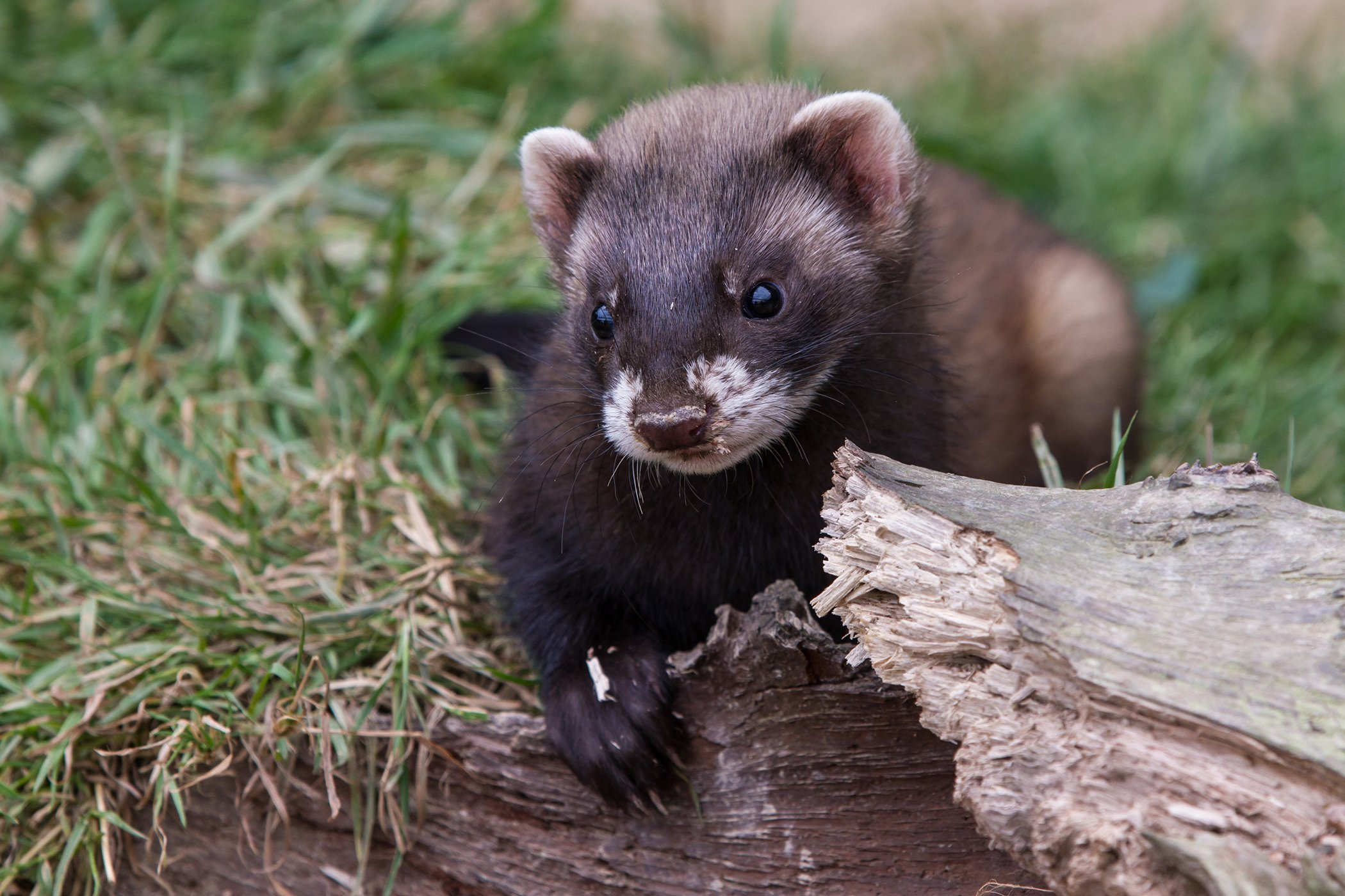Stomach Ulcers in Ferrets