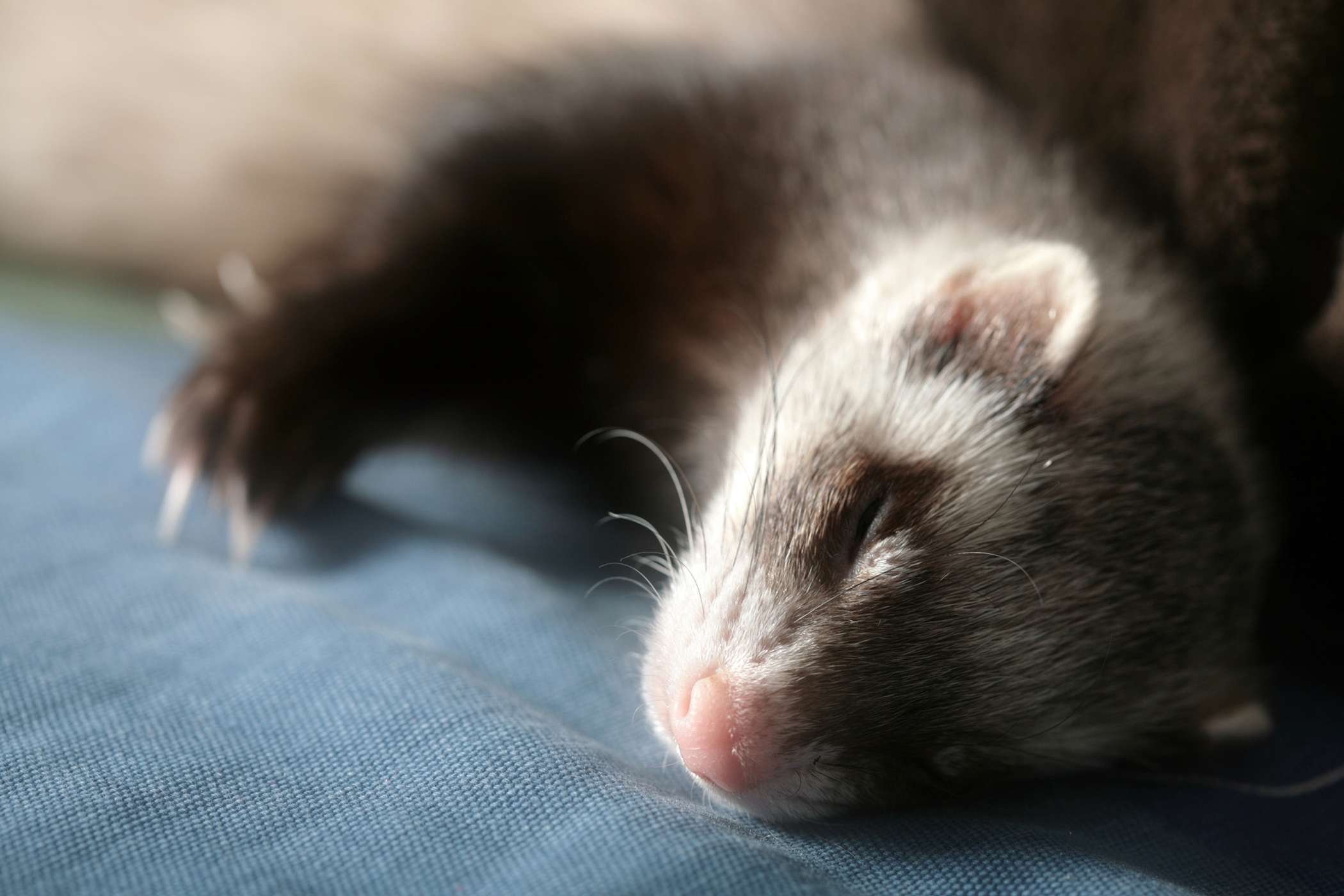 Tumors of the Skin, Hair, Nails, Sweat Glands in Ferrets