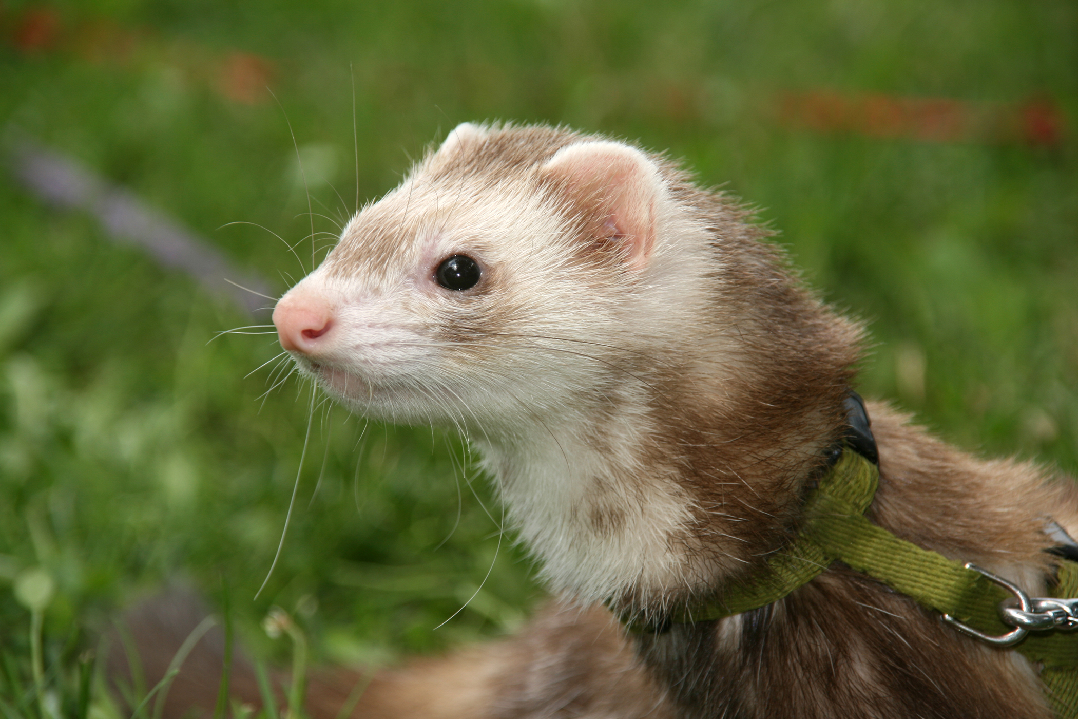 Urinary Tract Obstruction in Ferrets