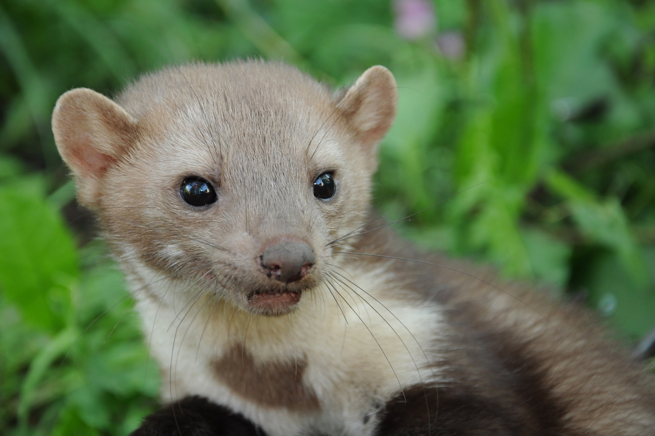 Urinary Tract Stones in Ferrets