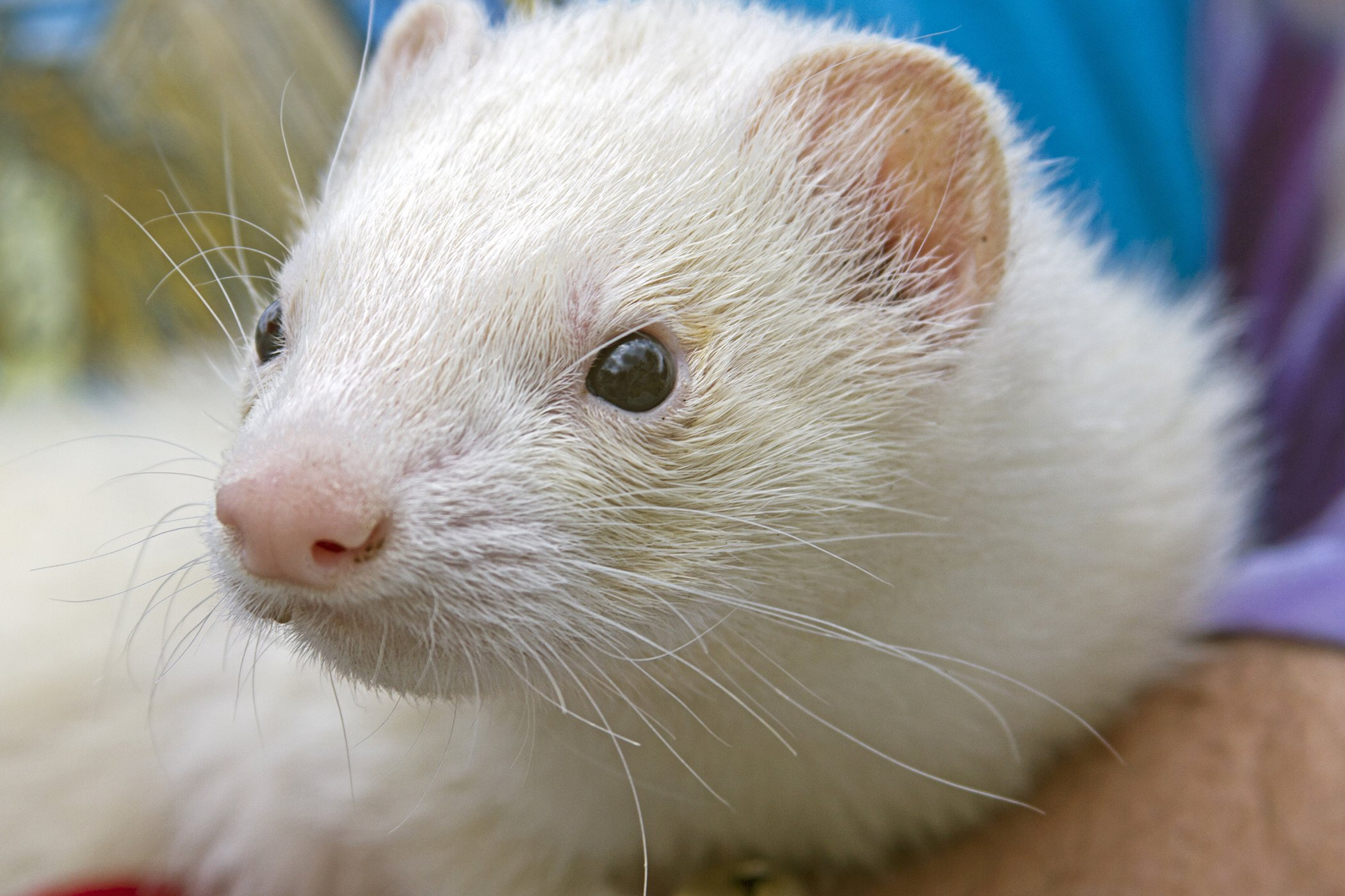 Uterine Infection and Pus in Ferrets