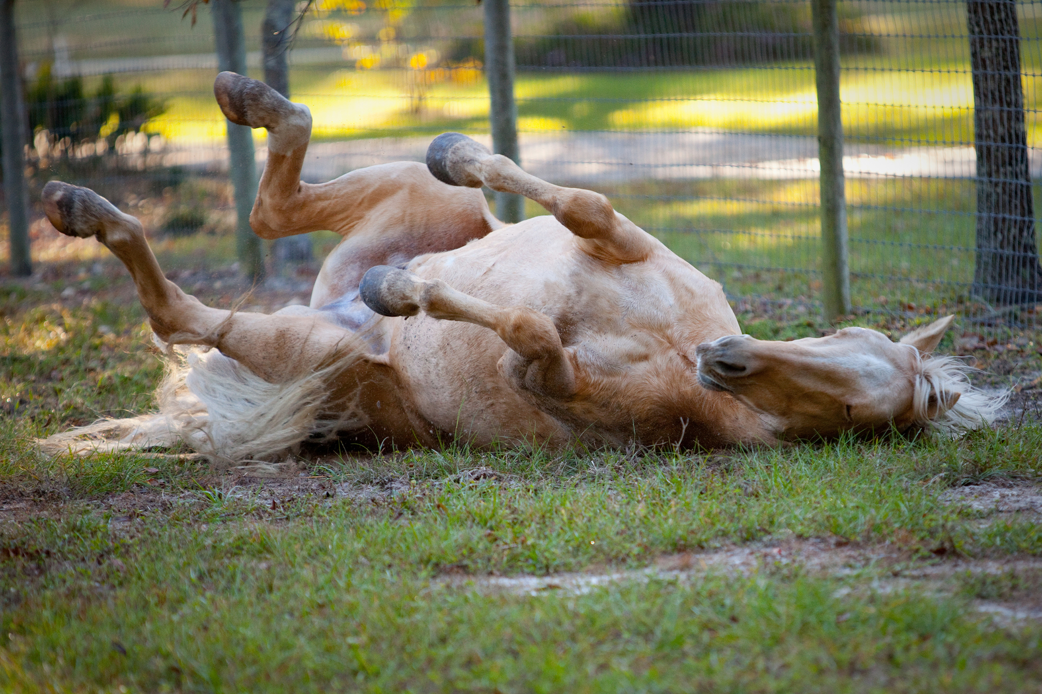 Muscle Strain And Soreness In Horses Symptoms Causes