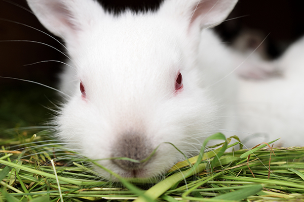 Red Eye in Rabbits