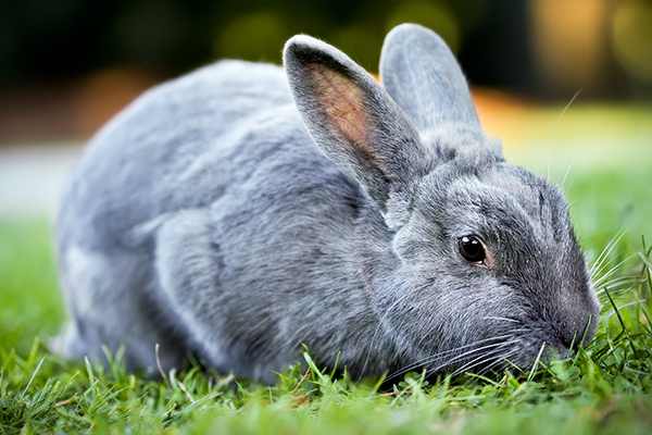 Ringworm in Rabbits - Symptoms, Causes, Diagnosis ...
