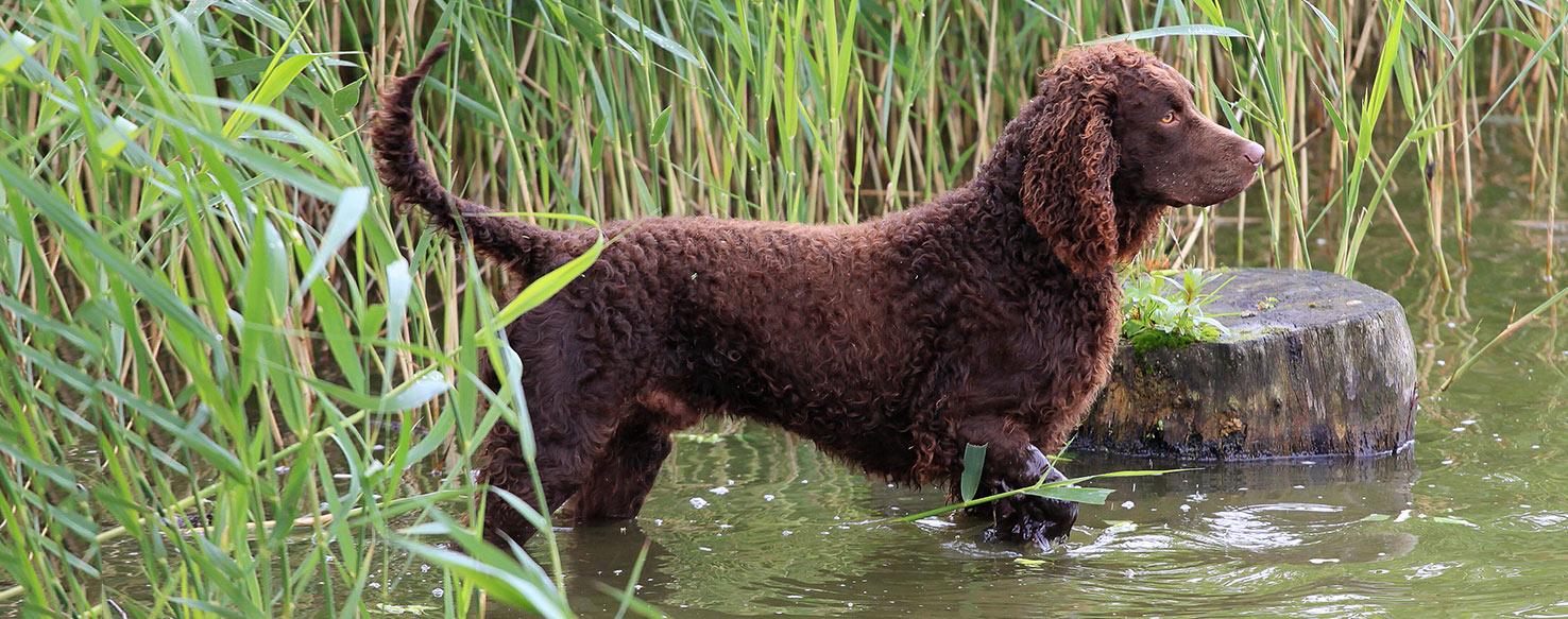 American Water Spaniel - Dog Breed Health, History ... American Water Spaniel Dogtime