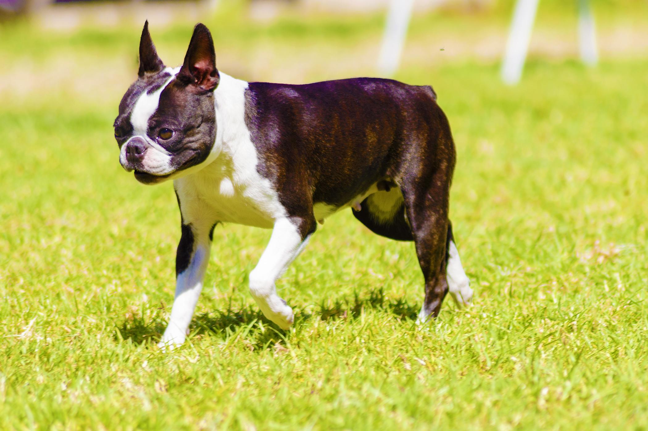 Dog Walker Boston