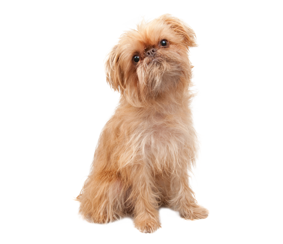 Brussels Griffon Dog Breed Health History Appearance