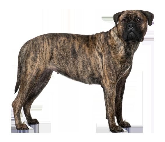 Bullmastiff - Dog Breed Health, History, Appearance ...