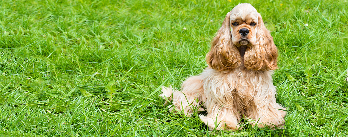 cocker spaniel origin english cocker spaniel dog breed health history 1773