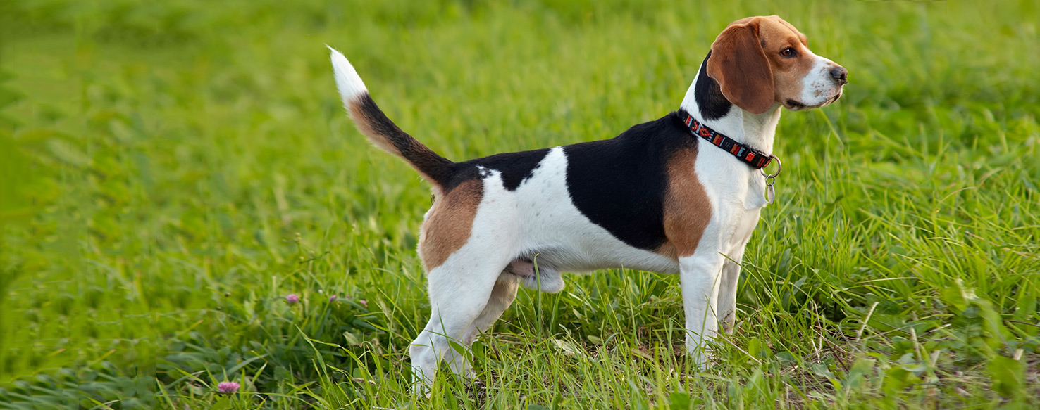 foxhound terrier english foxhound dog breed health history appearance 349