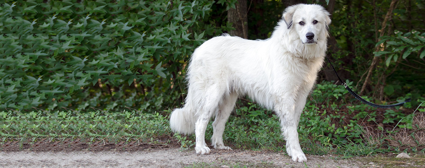 Great Pyrenees  Dog Breed Health, History, Appearance, Temperament, and Maintenance