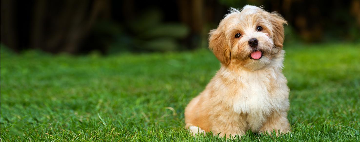 Havanese Dog Breed Health History Appearance