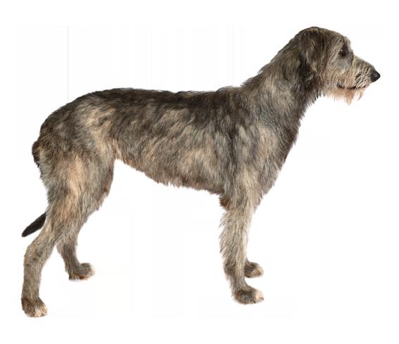 Irish Wolfhound - Dog Breed Health, History, Appearance ...