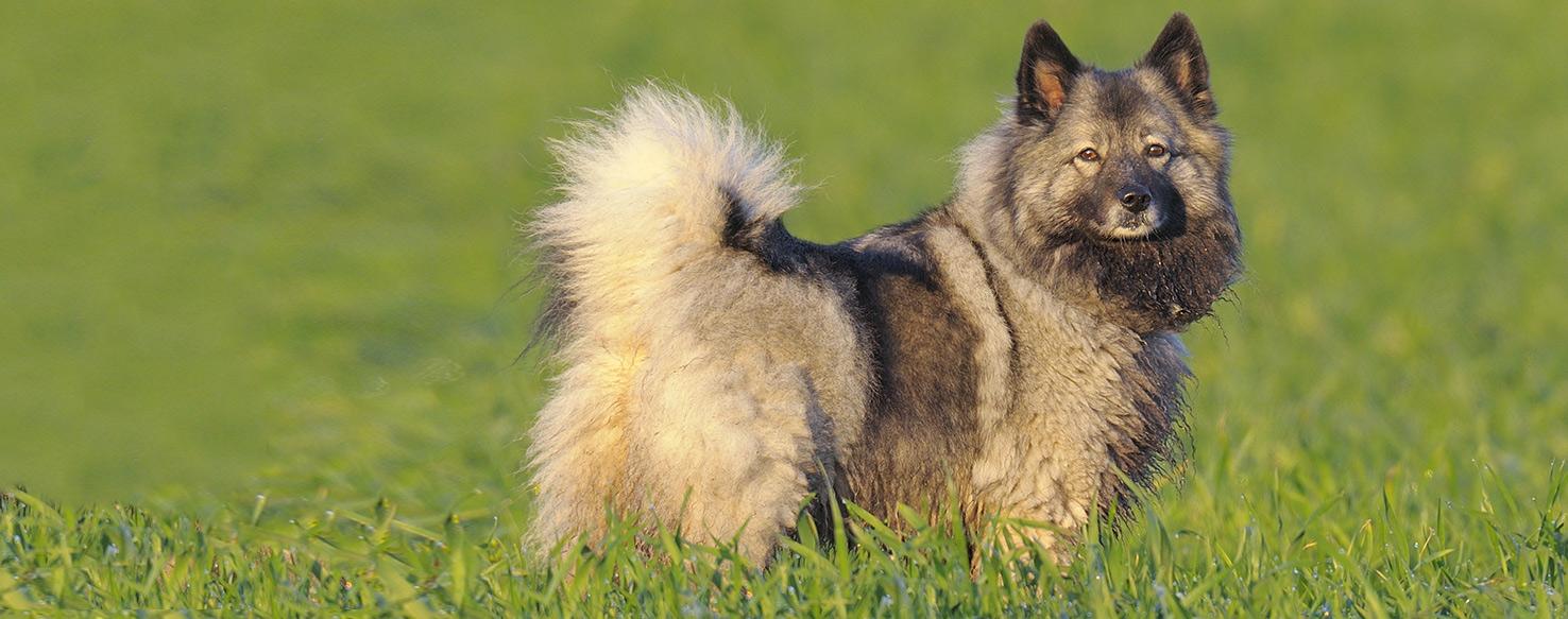 Keeshond - Dog Breed Health, History, Appearance ...