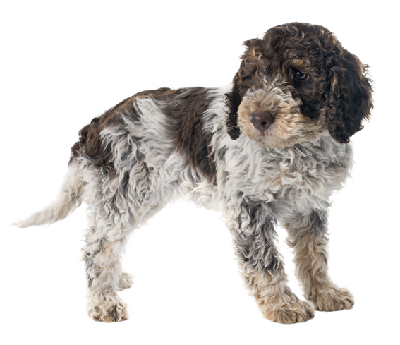 Orange Lagotto Romagnolo: Dog Breed Health, History, Appearance
