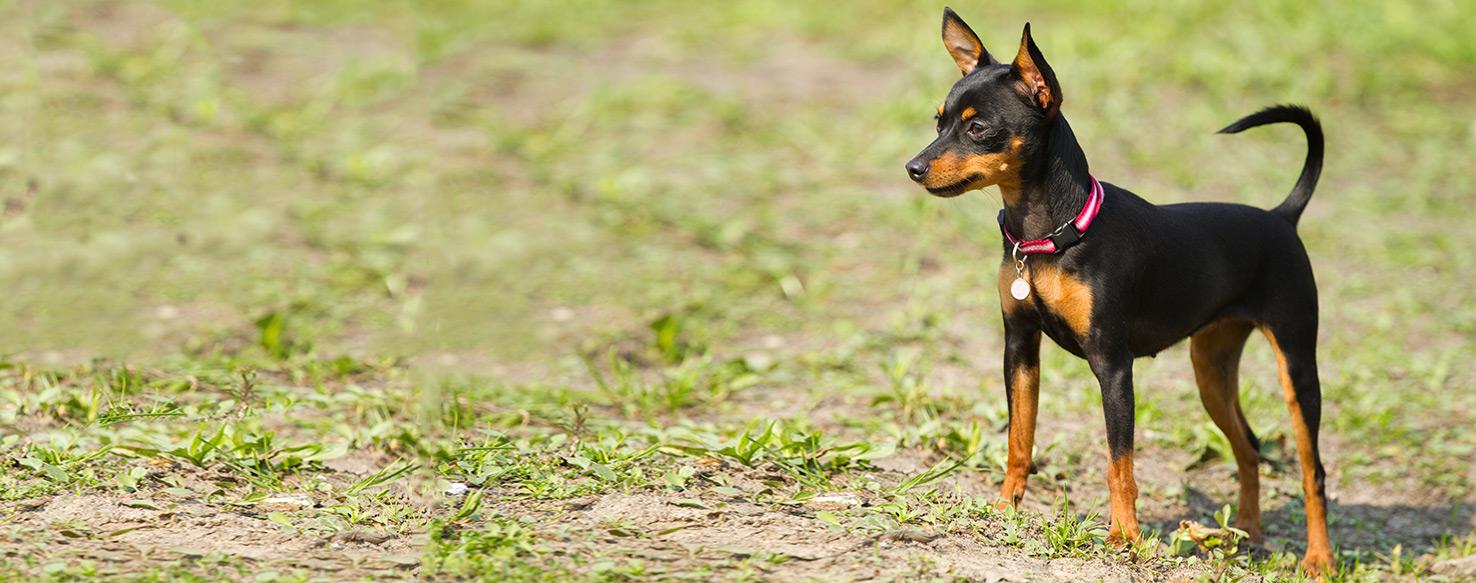 Miniature pinscher dog breed health history appearance for Pinscher temperamento