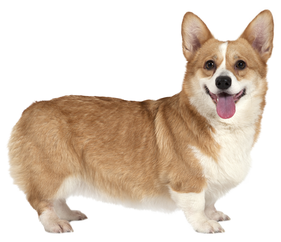 Pembroke Welsh Corgi - Dog Breed Health, History ...