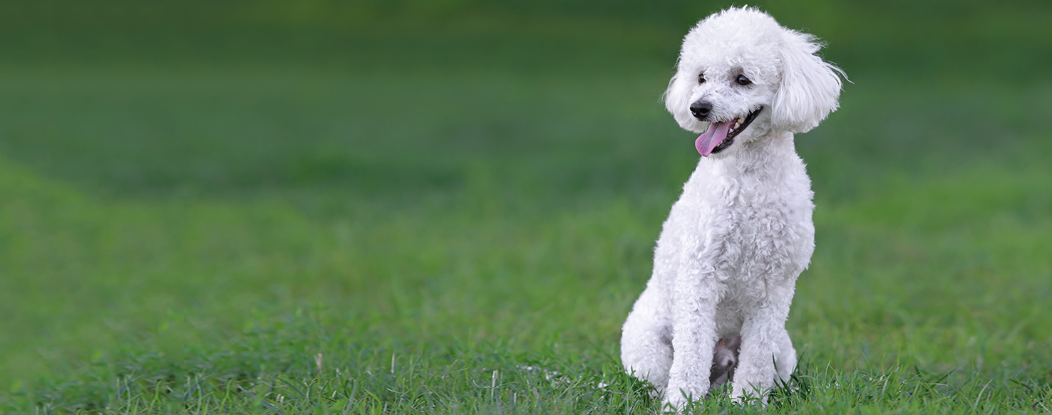 Are Poodles Good With Other Dogs