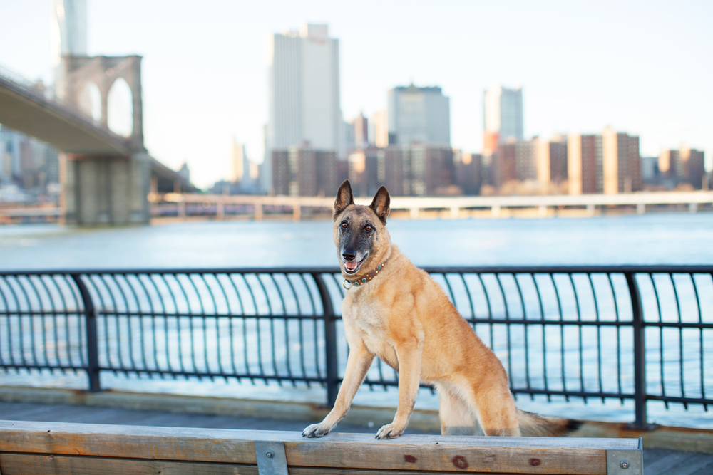 How to Register Your Dog in New York, NY | Dog Ownership | Wag!